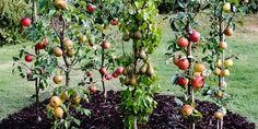 Ovocné stromky nízkého vzrůstu jsou ideální do malých zahrad s omezeným prostorem, do nádob nebo jako živá stěna oddělující ovocnou a okrasnou část zahrady a prodávají se pod názvem Ballerina.