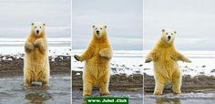 Tanzender Eisbär
