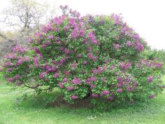 Lilacs are wonderful additions to nearly any landscape; however, periodic pruning is vital in order to keep lilacs healthy and looking their best. Read this article to find out when and how to prune a lilac bush. Types Of Shrubs, Bushes And Shrubs, Flowering Bushes, Lilac Bushes, Pruning Shrubs, Outdoor Plants, Garden Plants, Outdoor Gardens, Outdoor Flowers