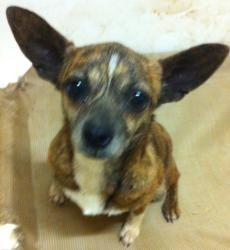 Cammie is an adoptable Chihuahua Dog in Manchester, NH. Cammie is three years old and sweet, sweet, sweet!   Adoption fee for dogs: $465 (this includes $140 non-refundable transport fee from the sou...