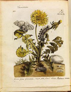 historical science B+W + colour engravings-illustrations of butterflies, bees, moths + plants + flowers in-situ (1700s)