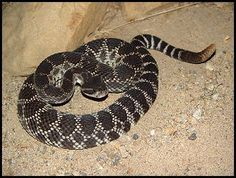 A comprehensive list of the venomous snakes found in the desert