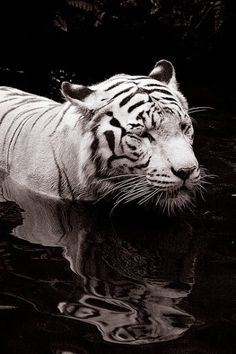 19 Beautiful White Tiger Pictures (Tiger wading in water by Qi Wei Fong) Beautiful Cats, Animals Beautiful, Cute Animals, Wild Animals, Tiger Photography, Wildlife Photography, White Photography, White Tiger Pictures, Big Cats