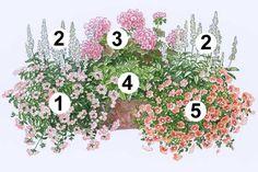 """1 Verbene """"Samira Peach"""" trägt große pfirischfarbene Blütenräder. Im hinteren Bereich ragen die weißen Kerzen des neuen 2 Balkonsalbei """"Fari..."""
