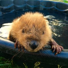 Rescued Baby Beaver Takes A Little Bath — And Wins The Internet