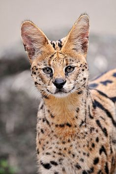 Serval by Tambako the Jaguar, via Flickr