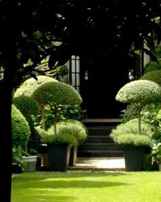 Beautiful ... I love topiary especially the small manageable trees ... It's incredibly relaxing clipping away with small scissors... I never use the correct clippers I find them difficult to control ... When I stayed with my daughter I bought her lots of miniature standard trees to go on her outside tables ... A name I'd never heard of in London... I think they are called Tilly Pilly ... I really wanted to find standard small Olive trees for the tables ... But after visiting about 5…