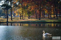 Swan Lake at Berry College in #Rome #Georgia.