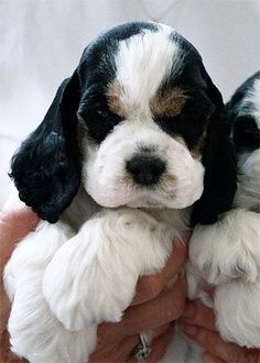 Cocker spaniel... cute! ...........click here to find out more http://googydog.com