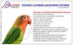 Love Birds Pet, African Lovebirds, Bird Breeds, Budgies, Parrots, Abyssinian, Parakeet, Cordial, Sweet Home