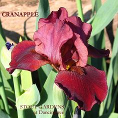 """(J. T. Aitken 1995) BB iris, 24"""" (61 cm), EM S. and style arms cranberry red; F. dark velvety cranberry red; beards russet. (Gyro x Warrior King) X Maid of Orange. Awards; HM 1997, AM 1999 Classic BB"""