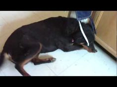 Cutest doggy trick FAIL ever. Poor thing, it's ok, it is a difficult concept.