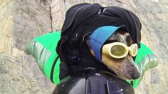 World's First Wingsuit BASE Jumping Dog