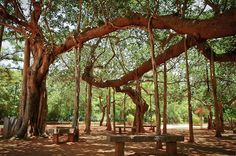 India's Auroville shows the way in green living - banyan tree Sri Aurobindo, Great Places, Places To Go, Beautiful Places, Haiti, Auroville India, Bay Of Bengal, Amazing India, Forest City
