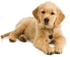 Golden Retriever, kutya, Golden Retriever, eladó kutya, Golden Retriever, kiskutya, Golden Retriever, kutyák, golden retriever