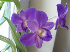 Dendrobium phalenopsis