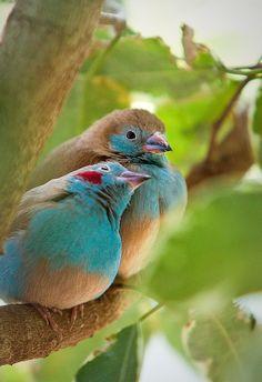 Some kind of lovebirds