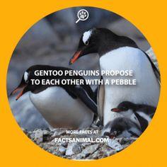 gentoo-penguin-pebble