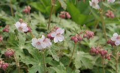 Der Balkan-Storchschnabel (Geranium macrorrhizum) ist ein robuster und langlebiger Bodendecker. Die starkwüchsige, bis 30 Zentimeter hohe Staude blüht von Mai bis Juli und wird meist in den drei Sorten 'Spessart' (weiß bis blassrosa Blüten, Foto) 'Czakor' (purpurrot) und 'Ingwersen' (hellviolett) angeboten. Sie wächst in Sonne und Schatten auf nahezu allen Böden und zeigt auf trockeneren, nicht zu nährstoffreichen Standorten eine schöne Herbstfärbung. Für eine dichte Fläche sind acht…