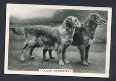 Golden Retrievers from series Dogs by Senior Service Cigarettes card #38