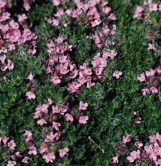 Monrovia's Pink Chintz Thyme details and information. Learn more about Monrovia plants and best practices for best possible plant performance. Patio Plants, All Plants, Growing Plants, House Plants, Full Sun Landscaping, Low Maintenance Landscaping, Colorful Flowers, Pink Flowers