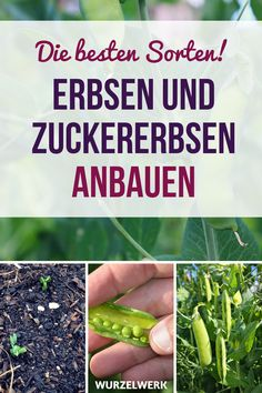 Erbsen & Zuckererbsen pflanzen und anbauen - Wurzelwerk Planting and growing peas & peas: here is the guide! Regardless of whether you want your peas to grow in the pot / pot on the balcony or in the Hanging Succulents, Hanging Planters, Garden Care, Container Gardening Vegetables, Vegetable Garden, Herb Garden, Organic Gardening, Gardening Tips, Urban Gardening