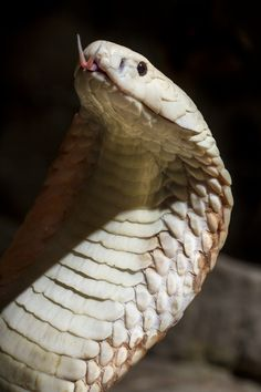 Monocled Cobra- (Naja Kaouthia) by Ryan Vince Pretty Snakes, Beautiful Snakes, Kinds Of Snakes, Cobra Snake, Snake Venom, King Cobra, Reptiles And Amphibians, Beautiful Creatures, Animal Photography