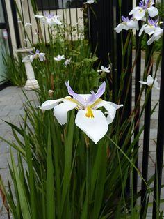 Wild Iris, Dietes grandiflora  | HEDGE Garden Design & Nursery