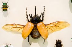 CC294 Five-Horned Rhinoceros Beetle Insect Museum by listentoreason, via Flickr