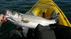 striped bass fishing pei