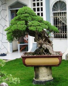 "Large bonsai displayed outdoors on ""monkey pole""-  concrete  wood ( combos of both) generally used. If using wood get a pressure treated type that will stand the outdoor elements"