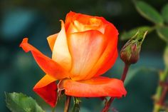 Photo of Rose (Rosa 'France Libre') uploaded by sunnyvalley