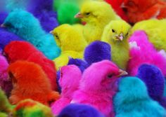 Dyed Chick pets