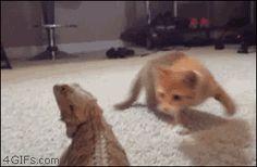 Kitten freaked out by lizard. gif.