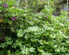Lavatera Purisima at north end of tennis court