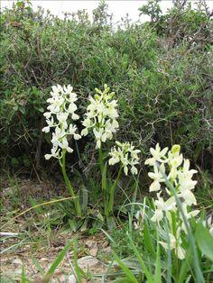 Orchis procvincialis - Insel Chios