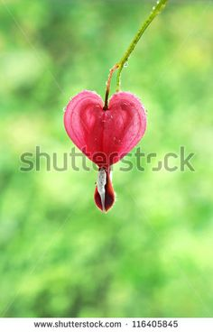 Single bleeding heart flower blossom with water droplets.  Macro with extremely shallow dof.