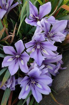 Gorgeous Flowers Garden & Love — Babiana sambucina Beautiful