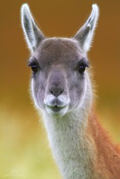 Thought this was a llama at first, it's actually a Guanaco