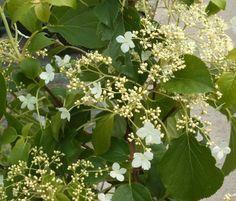 Hortensia trepadora. Plantas trepadoras