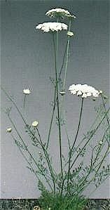 wild carrot plant (Queen Anne's Lace)