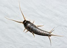 Identify, control, and get rid of silverfish in the home with these tips from The Old Farmer's Almanac. Best Pest Control, Pest Control Services, Bug Control, Get Rid Of Silverfish, Silverfish Control, House Insects, Whatsapp Tricks, Old Farmers Almanac, Pest Management