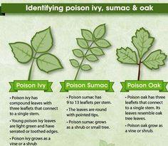 How to identify poison ivy, sumac & oak Poison Sumac Pictures, Poison Ivy Rash Pictures, Poison Sumac Plant, Poison Ivy Plants, Poisonous Plants, Edible Plants, Poison Ivy Killer, Identify Poison Ivy, Ivy Plant Indoor