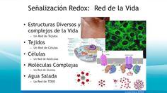 moléculas de señalización redox cura de diabetes