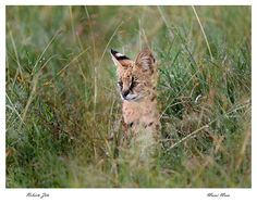 Serval Cat in Maasai Mara. photo courtesy of Roberto Zito www.sunworldsafaris.com