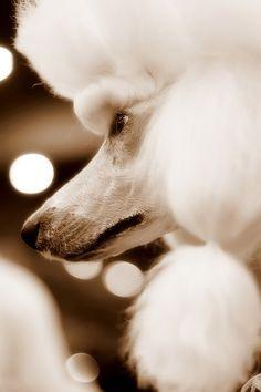#dog show [baroque]  Like,Repin,Share, Thanks!