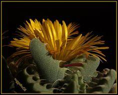 Faucaria Felina (Flickr - Photo Sharing)........