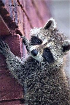 """""""Just Another Brick in the Wall (to climb) by Yannik Hay """" Animals And Pets, Baby Animals, Funny Animals, Cute Animals, Rocky Raccoon, Pet Raccoon, My Spirit Animal, My Animal, Most Beautiful Animals"""