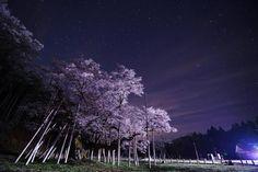 120:「夜の淡墨公園は淡墨桜と星がとてもきれいでした。」@根尾谷・淡墨公園