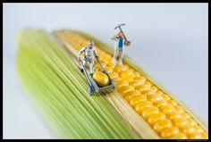 Corn | Flickr - Photo Sharing!